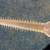 Freshwater sawfish.  Image Peter Kyne, CDU