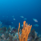 Marine life on rocky reefs off eastern Tasmania.