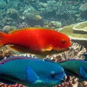 Steephead parrotfish.  Image AIMS Long Term Monitoring Program