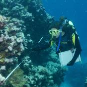 Volunteer diver surveying reef in the coral Sea.  Image:  Graham Edgar, Reef Life Survey