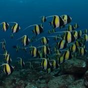 School of Moorish idols (Zanclus cornutus) Lord Howe Is Marine Park. Image http://reeflifesurvey.com/