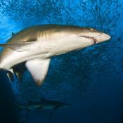 Grey Nurse Shark.  Image David Harasti, DPI NSW