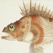 A watercolour painting of a Deep Ocean Perch