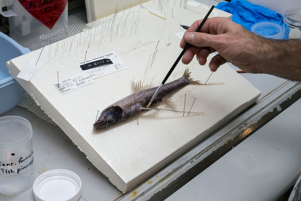 Tripod fish being painted with formalin