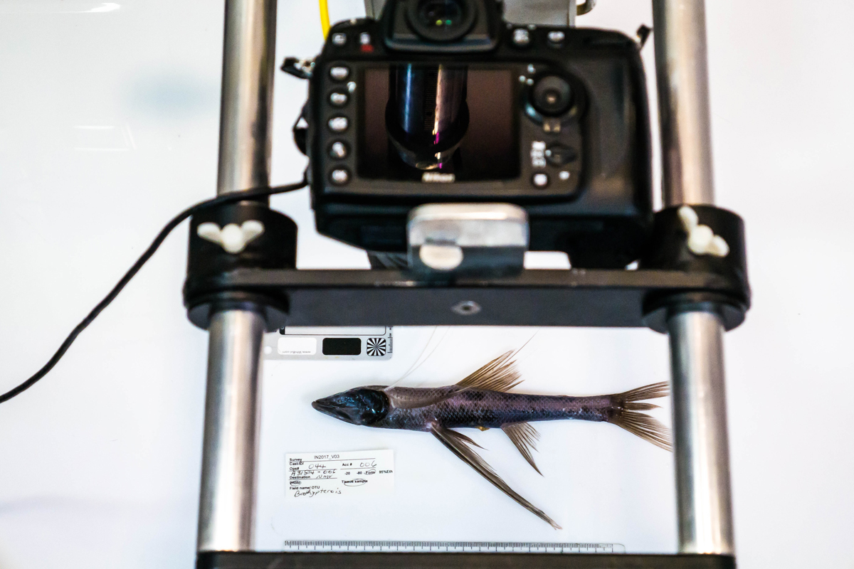 Tripod fish being photographed